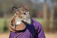Galgo avec le manteau pourpre Photographie stock libre de droits