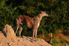 Galgo che sta su un mucchio della sabbia Fotografie Stock