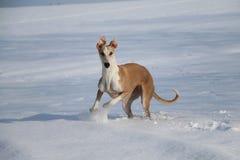 Galgo dans la neige Photo stock