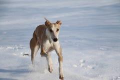 Galgo dans la neige Images libres de droits