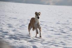 Galgo dans la neige Photographie stock libre de droits