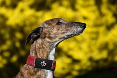 Galgo devant forsythia Photographie stock