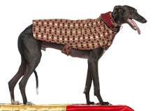 Galgo Español, 3 years old, standing on table Royalty Free Stock Images