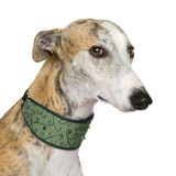 Galgo Espanol (4 years). In front of a white background Royalty Free Stock Photo