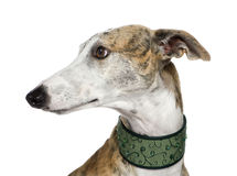 Galgo Espanol (4 years) Stock Images