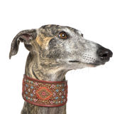 Galgo Espanol (4 years). In front of a white background Royalty Free Stock Photos