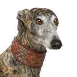 Galgo Espanol (4 years). In front of a white background Stock Photography