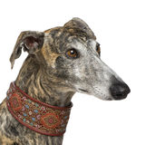 Galgo Espanol (4 years). In front of a white background Stock Images