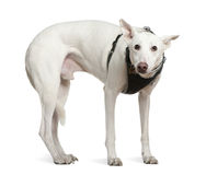 Galgo espanol, 4 years old, standing. In front of white background stock photography