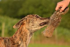 Galgo Espanol. Bites a hare dummy Stock Photo