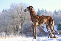 Galgo Espanol. A brindle Galgo Espanol standing in the snow and watching the surroundings Stock Photos