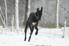 Galgo Espanol fonctionnant dans la neige Photographie stock libre de droits