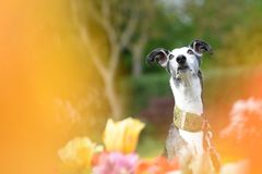 Galgo Espanol in a colorful field of tulips. Galgo Espanol in the middle of a multicolored field of tulips Stock Photography