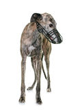 Galgo espanol and muzzle. Galgo espanol with muzzle in front of white background Royalty Free Stock Image