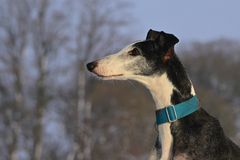 Galgo Espanol. Portrait of a Galgo espanol Stock Photo
