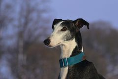 Galgo Espanol Royalty Free Stock Photo