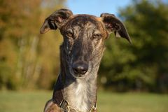 Galgo Espanol Portrait Royalty Free Stock Photos