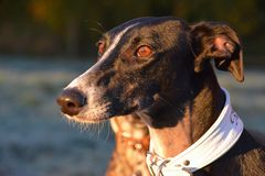 Galgo Espanol Portrait Royalty Free Stock Images