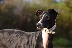 Galgo Espanol Portrait. Portrait of a black galgo espanol Stock Photography