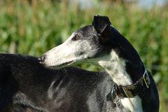 Galgo Espanol royalty free stock photography