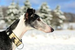 Galgo Espanol. Portrait of a black Galgo Espanol in winter Stock Image