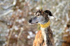 Galgo Espanol. Portrait of a brindle Galgo Espanol in winter Stock Photography