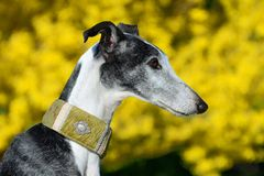Galgo Espanol. Portrait of a galgo espanol in front of yellow background Stock Photos