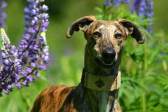Galgo Espanol Stock Photography