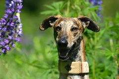 Galgo Espanol Royalty Free Stock Images