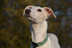Galgo Espanol puppy Stock Photography