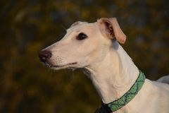 Galgo Espanol puppy Royalty Free Stock Photos