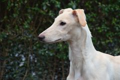 Galgo Espanol puppy Royalty Free Stock Photography