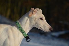 Galgo Espanol puppy Royalty Free Stock Image