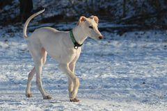 Galgo Espanol puppy Stock Photo