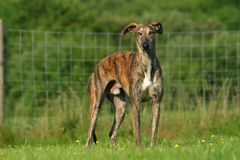 Galgo Espanol Royalty Free Stock Photos