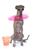 Galgo espanol in summer. In front of white background Stock Images