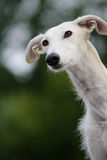Galgo espanoly Royalty Free Stock Images