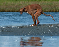 Galgo español gazehounds poops on the beach Royalty Free Stock Photos