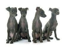 Galgo italiano dos cachorrinhos imagens de stock