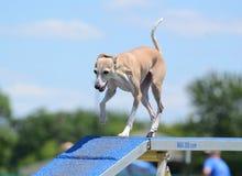 Galgo italiano na experimentação da agilidade do cão Fotografia de Stock