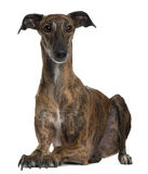 Galgo lying down Royalty Free Stock Photo