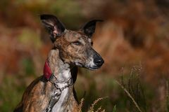 Galgo Stock Images