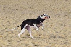Galgo que corre em uma praia com um lenço Foto de Stock Royalty Free