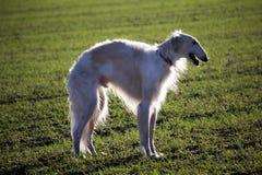 Galgo ruso del perro en el campo fotos de archivo libres de regalías