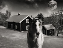 Galgo ruso, lobo-perro hacia fuera que caza Imagen de archivo