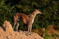 Galgo se tenant sur une pile du sable Photos stock
