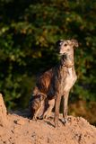 Galgo sitting on a pile of sand Stock Photos