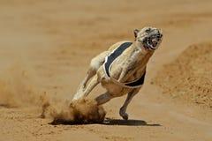 Galgo Sprinting Imagen de archivo libre de regalías