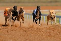 Galgos Sprinting fotografia de stock royalty free