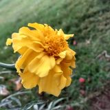 Galgota kwiat fotografia stock